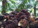 tandan-buah-segar-tbs-kelapa-sawit.jpg