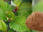 telah-digunakan-berabad-silam-kratom-tanaman-asal-kalimantan-ini-jadi-obat-herbal-ajaib.jpg