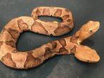 ular-berkepala-dua_20180925_165512.jpg