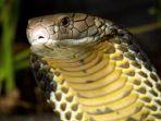 ular-king-cobra_20180709_180109.jpg
