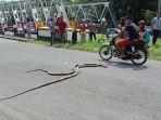 ular-kobra_20180421_193921.jpg