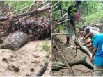 ular-piton-tersebut-ditemukan-di-desa-labunti.jpg