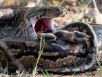 ular-piton_20160122_234033.jpg