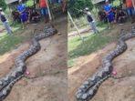 ular-piton_20180518_194825.jpg