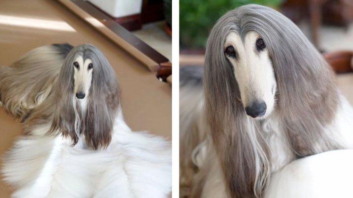 Bikin Cewek Iri ! Anjing Ini Habiskan Rp 200 Juta Untuk Perawatan Rambut, Begini Penampakannya