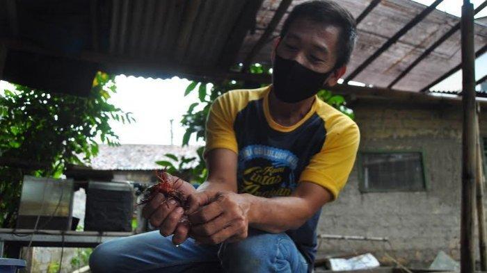 Mengintip Potensi Ekonomi Dari Budidaya Lobster di Bogor