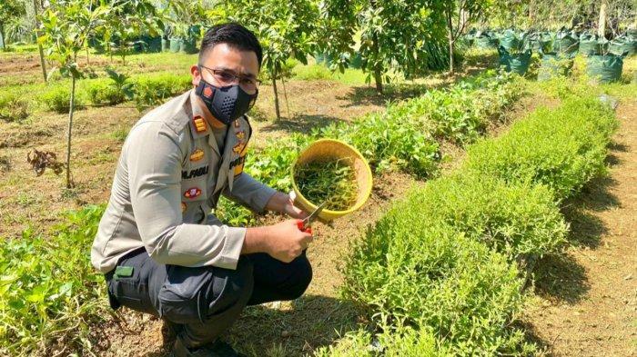 Mengenal Pemanis Alami dari Daun Stevia Hasil Budidaya Polisi di Bogor