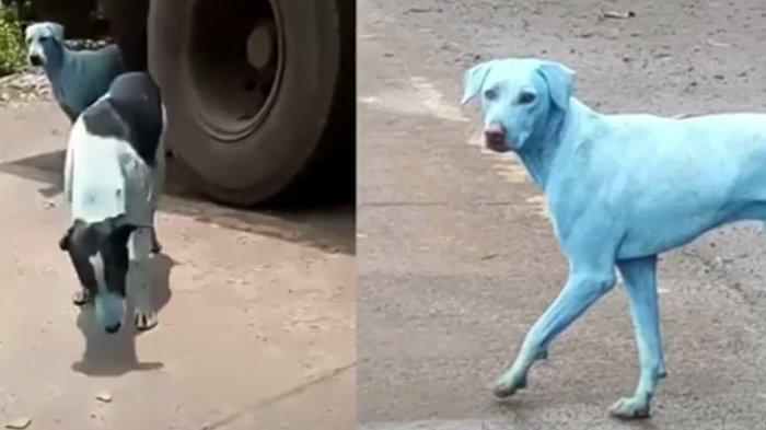 Anjing Berbulu Warna Biru Keliaran di Kota, Warga Miris Lihat Penyebab Perubahannya