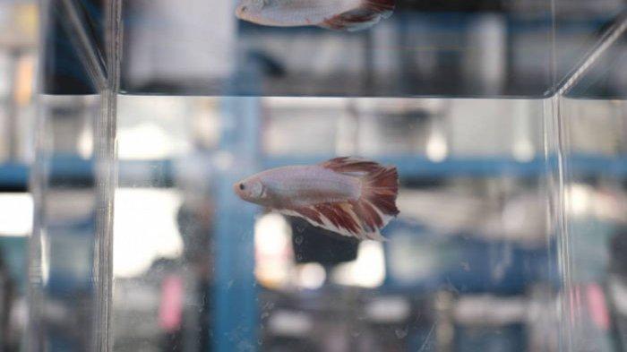 Buat yang Hobi Pelihara Ikan Hias, Datang Yuk ke Acara Aquafest, Koleksi Ikannya Banyak Loh