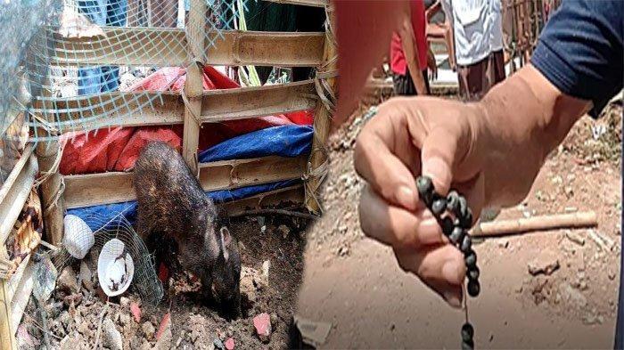 Fakta Baru Isu Babi Ngepet Viral di Depok, Sosok Pemiliknya Terungkap: Belinya Rp 900 Ribu