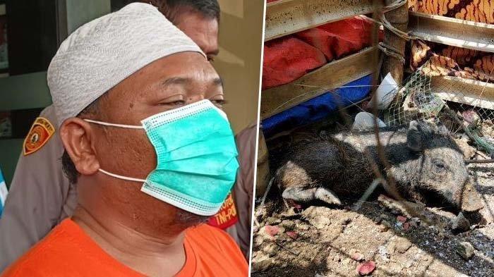 Babi Ngepet di Depok Ternyata Rekayasa (kanan), Pelaku Penipuan Ditangkap (kiri), Asal Usul Babi Kini Terungkap