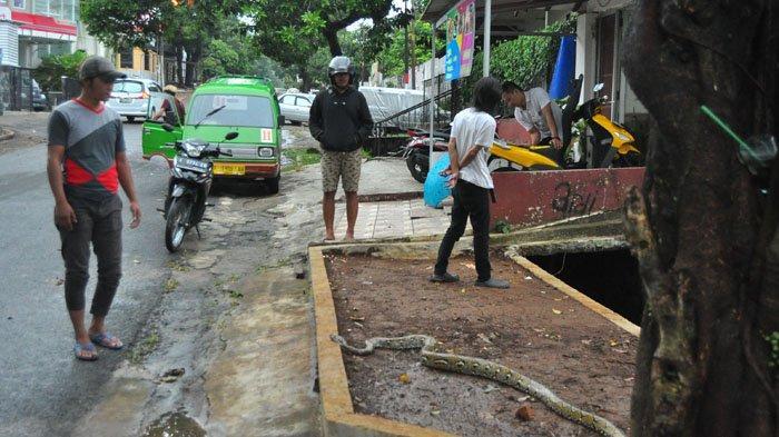 Sedang Berteduh, Sopir Angkot di Bogor Tangkap Ular Besar yang Terbawa Air