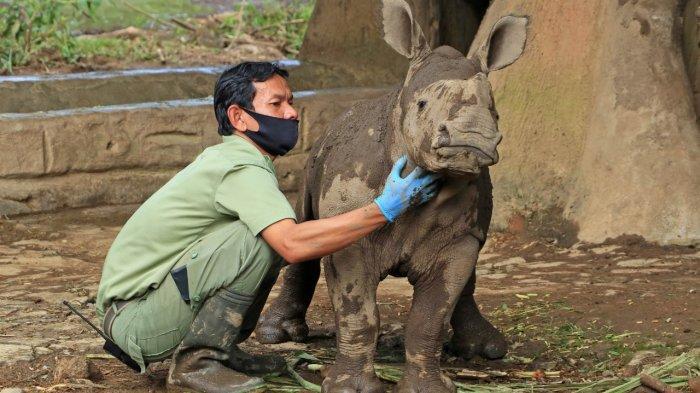 Kawin Selama Seminggu, Badak Putih Lahirkan Anaknya di Taman Safari Bogor