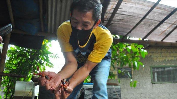 Mengintip Lokasi Budidaya Lobster di Bogor, Cantik Untuk Dipajang di Aquarium