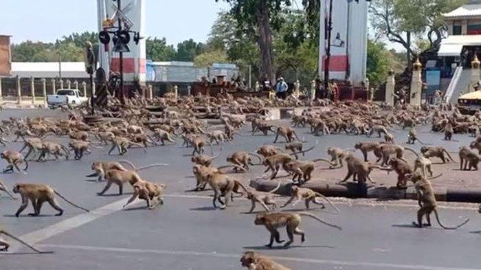 Bukan Zombie, 6 Ribu Monyet Ngamuk 'Serang' Kota Thailand, Warga Ketakutan Sembunyi di Rumah