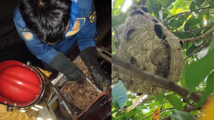 Sering Sengat Warga, Damkar Evakuasi Sarang Tawon di Pohon dan Atap Rumah