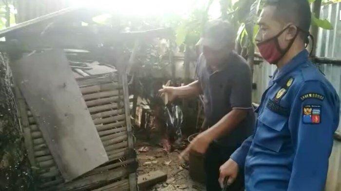 Dengar Suara Bising di Kandang Ayam, Pemilik Kaget Ternyata Ada Ular Sanca Batik 3,5 Meter
