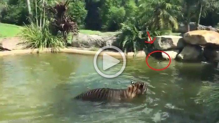 Aksi Seekor Bebek Kerjai Harimau Sampai Kabur Ini Bikin Deg-degan, Lihat Caranya Mempertahankan Diri