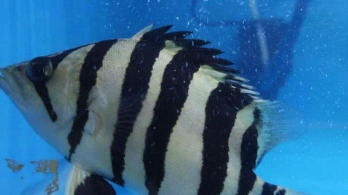 Harga Ikan Hias Cantik Cocok untuk di Akuarium Rumah, Mulai dari Rp 2 ribu hingga Rp 25 juta