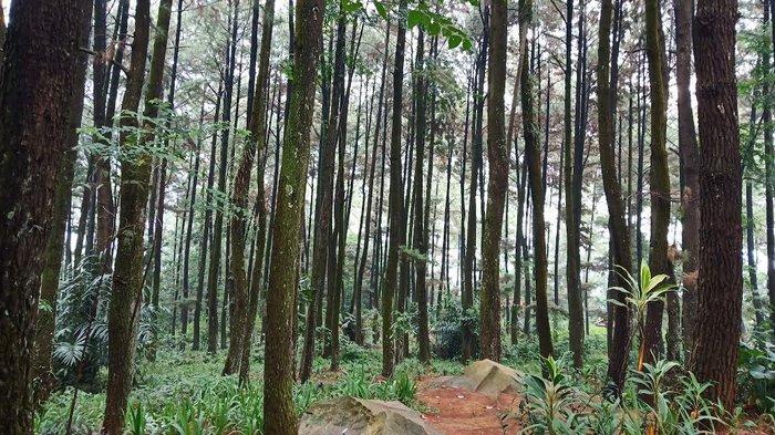 Liburan Murah di Gunung Pancar, Nikmati Udara Sejuk di Hutan Pinus dan Pemandian Air Hangat