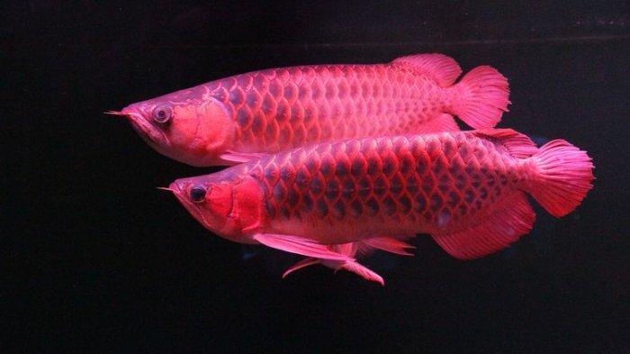 Modus Pencuri Ikan Arwana Super Red di Bogor, Irfan Hakim Kenal Pelakunya : Orang Kepercayaan