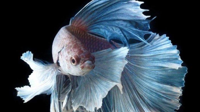 Selain Cupang, Ini 5 Jenis Ikan Hias yang Sedang Hits, Harga Jualnya Bisa Capai Puluhan Juta