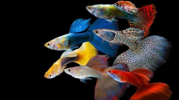 12 Jenis Ikan Hias Air Tawar yang Mudah Dirawat, Cocok untuk Pemula yang Baru Punya Akurium