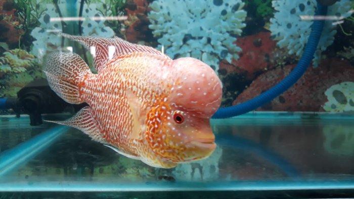 Mengintip Sentra Ikan Hias di Bogor Aquatic Center, Harga Ikan Louhan Dari Rp 500 Ribu Hingga Jutaan