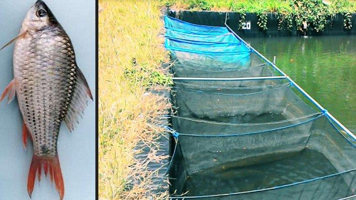 Ternyata Bumbu Dapur Bisa Berguna Untuk Produktivitas Si Ikan Terapis