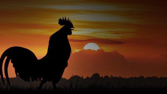 Ini Makna Ayam Berkokok Malam Hari, Akan Terjadi Sesuatu Keesokan Harinya, Bukan Mitos