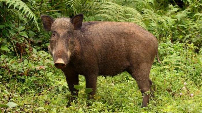 Babi Hutan Masuk Rumah Rusak Kasur dan Lemari, Warga Sukamakmur Kocar Kacir
