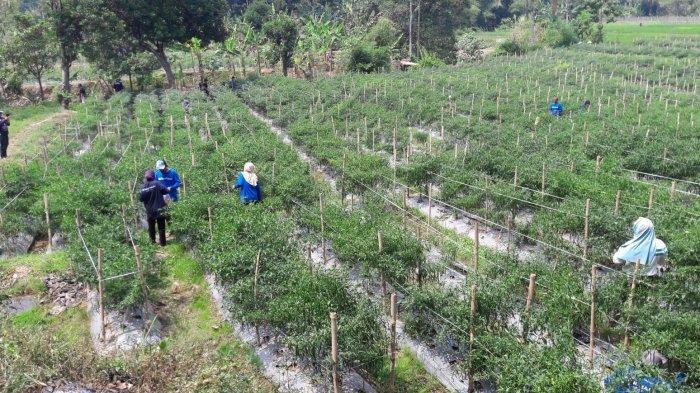 Dugaan Penggelapan Pupuk Bersubsidi Buat Petani di Sukamakmur Merugi, Polisi Turun Tangan
