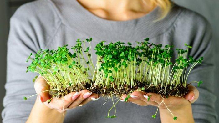 Mengenal Microgreen Si Sayuran Mini dengan Manfaat Maxi, Ini Manfaat dan Cara Menanamnya