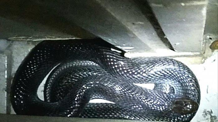 Tewas Dipatuk Ular Kobra saat Mencari Ikan, Yusuf Sempat Cerita Pada Keluarga dan Dibawa ke RS