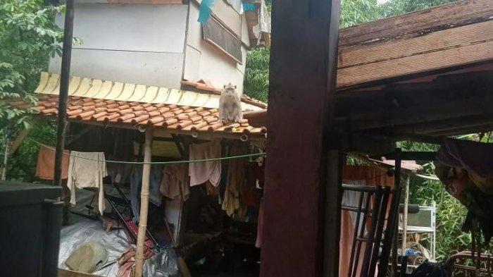 Warga Pamoyanan Bogor Resah, Kawanan Monyet Masih Berkeliaran