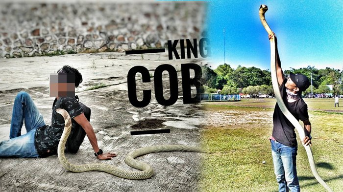 POPULER - Ular King Cobra yang Patuk Rizky Hingga Tewas Diambil Saat Banjir, Jasadnya Belum Dikubur