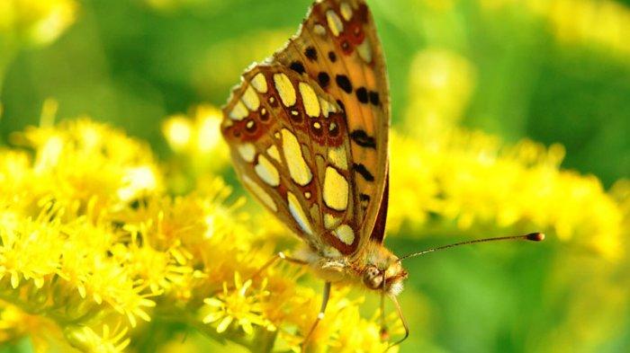 Mitos Kupu-kupu Masuk Rumah Malam Hari Bisa Sebabkan Sial, Benarkah? Ini Fakta Sebenarnya