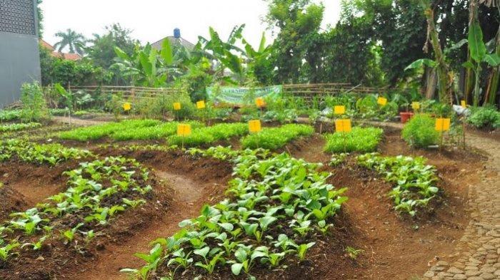 Jadi Inisiator KWT, Istri Wali Kota Bogor Manfaatkan Pekarangan Rumah Jadi Perkebunan