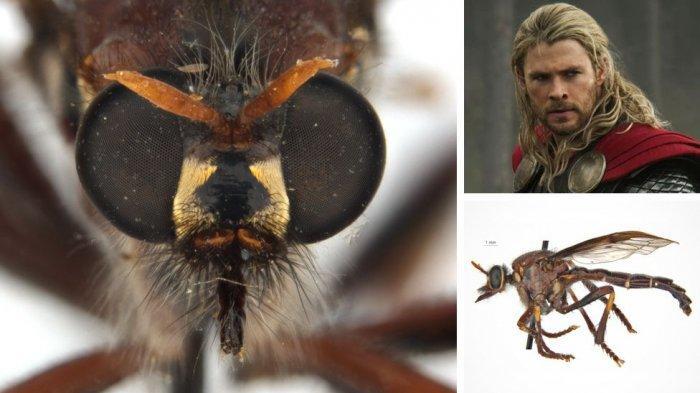 Superhero Deadpool, Thor, hingga Black Widow, Masuk dalam Kategori Lalat Pembunuh di Australia