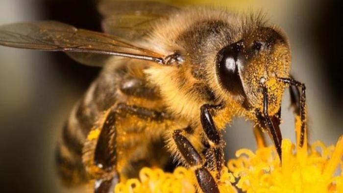 Cara Mengobati Sengatan Lebah dari Bahan Alami, Bisa Hanya Menggunakan Es atau Pasta Gigi