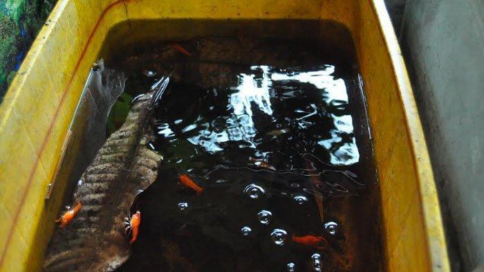 Lobster air tawar milik Aji Tribusono Wibowo