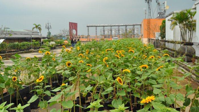 Pengunjung berfoto di kebun Bunga Matahari Bogor Sky Garden Mal BTM dengan tetap menerapkan protokol kesehatan.