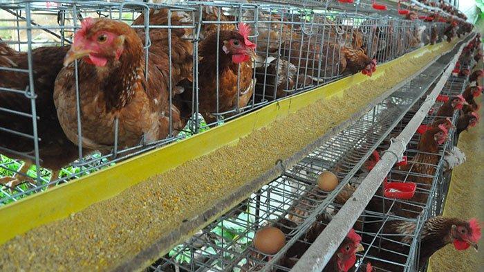 Menengok Peternakan Ayam Petelur di Bogor Barat, Ada Kolam Ikannya