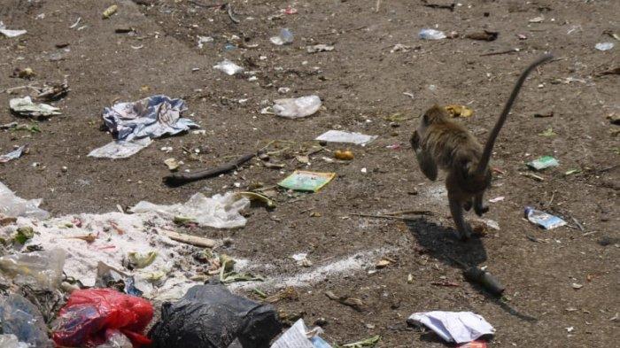 Diduga Kelaparan Di Dalam Hutan, Puluhan Monyet Di Ciampea Bogor Turun ke Pemukiman