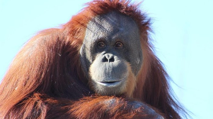 Peringati Hari Orangutan Sedunia, Mahasiswa IPB University Ungkap Perdagangan Liar Satwa Langka