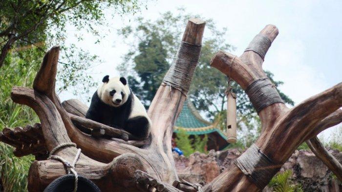 Menginjak Umur Dewasa, Sepasang Panda Di Taman Safari Indonesia Akan Dikawinkan