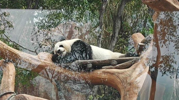 Main ke Istana Panda di Taman Safari Bogor, Kenalan dengan Hu Chun dan Cai Tao