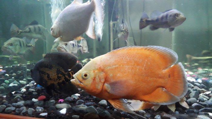 Ini Ikan-Ikan Predator yang Bisa Dipelihara di Rumah dan Dicampur dalam Satu Akuarium