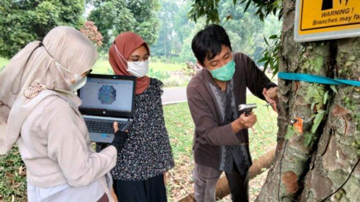 Antisipasi Cuaca Ekstrim, Puluhan Pohon di Kebun Raya Bogor Diteliti Kesehatannya