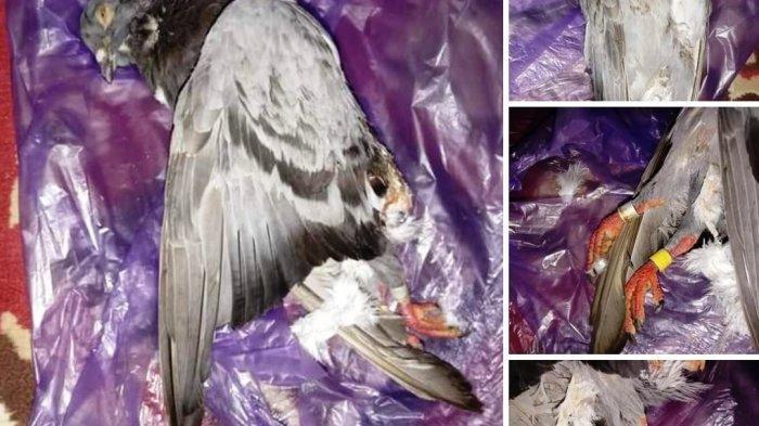 Pengendara Tabrak Burung Dara di Banjarnegara, Diminta Ganti Rp 1,25 juta, Polisi Turun Tangan
